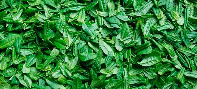 Листья чая после сбора
